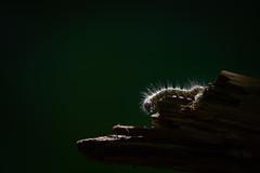 Chenille (Marc Andreu) Tags: animal exterieur eyes outdoor bokeh macro nature invertébré invertebrate andreu marcandreu andreumarc caterpillar chenille wood bois hairy larve lépidoptères