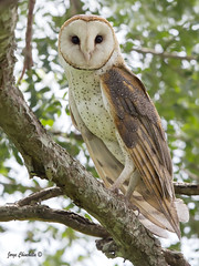 Barn Owl (Jorge Chinchilla A.) Tags: jorge chinchilla  barn owl costarica birds photography owls
