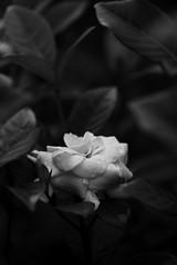 Lustre (Ramesh Adkoli) Tags: closeup virajpet bw blackwhite d800e capturenx
