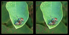 Come on Baby, Let's Fly 2 ! - Parallel 3D (DarkOnus) Tags: pennsylvania buckscounty huawei mate8 cell phone 3d stereogram stereography stereo darkonus closeup macro insect popillia japonica mating japanese beetles come baby lets fly ttw parallel