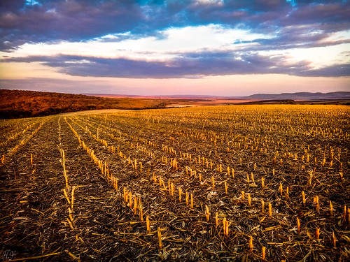 Through harvested corn...