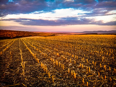 Through harvested corn... (Hasan Yuzeir) Tags: harvest corn sunset sky evening forest field cloud color landscape nature lg k8 phone