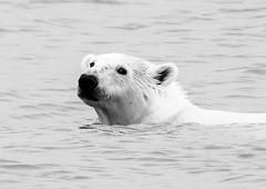 Polar Bear (Ursus maritimus) (David Cook Wildlife Photography) Tags: polarbear ursusmaritimus spitsbergen svalbardarchipelago norway davidcookwildlifephotography kookr sonya77mkii sonyilca77m2 sonysal70400g2 2016davidcookwildlifephotographyallrightsreserved
