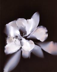 Magnolia grandiflora for Mama (julesnene) Tags: california flower juliasumangil kodak kodakpanalure magnolia magnoliagrandiflora southernmagnolia sunprint flora julesnene lumen lumenart lumenprint paintedbythesun photogram tree white alternativephotography withoutalens