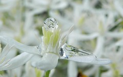 ...white crystal... (carbumba) Tags: white flower waterdroplet nature bright waterdrop