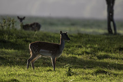 3H8A3932 (shay connolly) Tags: fallow deer dublin phoenix parl wildlife shay connolly