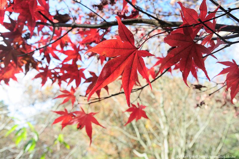 福壽山農場楓紅-17