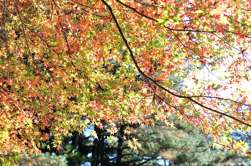福壽山農場楓紅-38