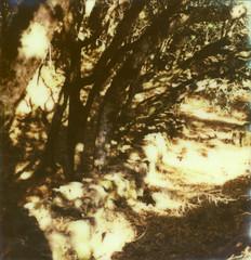 stone wall (lawatt) Tags: shadow tree film stone wall oak instant slr680 theimpossibleproject px680