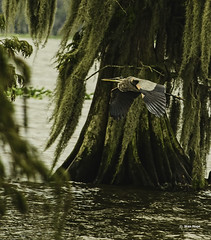 Lake Istokpoga  Great Blue Heron. (stan hope) Tags: morning usa lake nature birds nikon florida wildlife swamp sebring greatblueheron birdsofprey waterbirds photomix floridawildlife lakeplacidflorida specanimal highlandscounty lakeistokpoga d7000 loridaflorida
