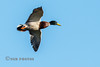 Mallard in Flight (Nigel Dell) Tags: autumn birds flickr seasons wildlife places hampshire mallard stillwater ngdphotos