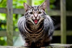 Seti (stephanrudolph) Tags: uk england london animal cat wow nikon europa europe handheld animalplanet 105mm 105mmf28 otw 105mmf28gvrmicro kittysuperstar d700 flickraward nikkor105mmf28gvrmicro goldstaraward nikonflickraward saariysqualitypictures