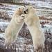 Wild Polar Bears in Churchill