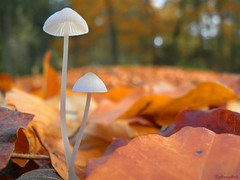 tiny white parasols (HansHolt) Tags: wood autumn red orange white mushroom leaves mushrooms leaf bokeh herfst parasol paddenstoel bos beech beuk thegalaxy allxpressus spaarbankbos fluitenberg mygearandmepremium mygearandmebronze rememberthatmomentlevel4 rememberthatmomentlevel5 rememberthatmomentlevel6 vigilantphotographersunite vpu2 vpu3 vpu4 vpu5 vpu6 vpu7 vpu8 vpu9 vpu10