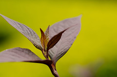 Green Peace (Chaithanya Krishnan) Tags: park macro green nature leaves bangalore sigma hebballake nikond7000 dpsgreen