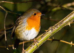 Robin being very friendly (jdoakey) Tags: uk greatbritain autumn england orange plant colour detail bird eye beautiful animal closeup woodland wings bush pretty branch colours breast close eyelashes britain gorgeous branches sony great norfolk wing beak feathers feather whiskers stunning norwich british lovely alpha dslr favourite fen animalplanet oakley longlegs redbreast strumpshaw a55 thewildlife strumpshawfen flickraward avianexcellence dslt sal70400g sony70400 flickraward flickraward5 flickrawardgallery sonya55 theinspirationgroup