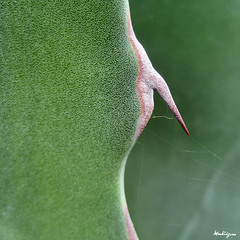 Agave Spike (monteregina) Tags: red plants canada abstract detail macro green nature leaves closeup rouge design leaf succulent pointy natural patterns details natur shapes vert structure textures qubec designs pointe agave thorns agavaceae spines mygarden spikes plantes abstractions centuryplant abstrait agaveamericana monjardin dtails formes sharpes sharpdetail monteregina agavedamrique agaveamricaine