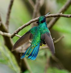 Quinde en vuelo (Romulo fotos) Tags: fauna america libertad quito ecuador aves colores latinoamerica americana pajaro pajarito colibr colorido picaflor quinde fosforecente endmica romulomoyaperalta