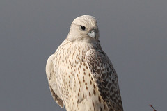 White Morph Gyrfalcon (naturelover2007) Tags: bird nature falcon birdwatcher whitemorph gyrfalcon avianexcellence naturelover2007