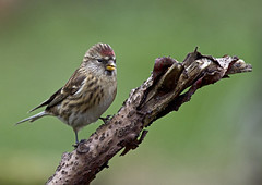 Redpoll_4508 (Peter Warne-Epping Forest) Tags: explored
