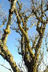 Herbstlicher alter Holunder; Damp (1257) (Chironius) Tags: trees tree germany deutschland rboles balticsea boom arbres rbol alemania albero bume allemagne arbre ostsee rvore baum trd germania damp itmeri schleswigholstein stersjn ogie aa  pomie sambucus  holunder baltijosjra morzebatyckie  niemcy adoxaceae stersen asterids  stersjen  baltijasjra dipsacales kardenartige  baltischesmeer pomienie  moschuskrautgewchse lnemere szlezwigholsztyn campanuliids