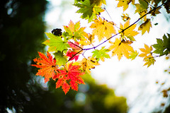 Autumn Waving in the Wind (moaan) Tags: life leica color digital 50mm maple glow dof bokeh f10 utata aomori glowing noctilux tinted mapleleaves 2012 青森 m9 tinged yagen colorsofautumn autumnaltints inlife leicanoctilux50mmf10 leicam9 薬研