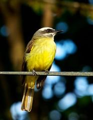 Ecuador-2012-02-14-360 (C&P_Pics) Tags: ecuador cac socialflycatcher tyrantflycatchers sachatamia