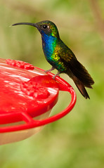 Hummingbird Lazuline Sabrewing (aukedamstra) Tags: beautiful hummingbird falcatus campylopterus lazuline sabrewing lazulinesabrewing campylopterusfalcatus