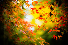 Every Leaf Speaks Bliss to Me (moaan) Tags: life leica color digital 50mm glow dof bokeh f10 momiji japanesemaple utata glowing noctilux tinted 2012 flutter m9 tinged colorsofautumn autumnaltints inlife leicanoctilux50mmf10  leicam9 kobemunicipalarboretum flutteredinthewind