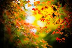 Every Leaf Speaks Bliss to Me (moaan) Tags: life leica color digital 50mm glow dof bokeh f10 momiji japanesemaple utata glowing noctilux tinted 2012 flutter m9 tinged colorsofautumn autumnaltints inlife leicanoctilux50mmf10  leicam9 kobemunicipalarboretum flutteredinthewind