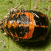 Ladybird Pupae Notts WT (cpt James Clay)