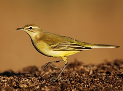 Alvola Amarela / Yellow Wagtail (anacm.silva) Tags: wild bird portugal nature birds wildlife natureza ngc aves ave yellowwagtail alvola motacillaflavaflavissima alvolaamarela anasilva antu britishyellowwagtail alvolaamarelabritnica