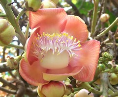 Cannonball Tree (Couroupita guianensis) (Oriolus84) Tags: plant flower tree cairns couroupitaguianensis cannonballtree lecythidaceae couroupita cairnsbotanicgardens fleckerbotanicgardens