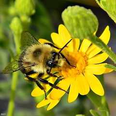 Eastern Bumble Bee on Coastalplain Goldenaster (bob in swamp) Tags: florida bees bee bumble common eastern asteraceae bombus palmbeachcounty bombusimpatiens junodunesnaturalarea taxonomy:binomial=bombusimpatiens coastalplaingoldenaster chrysopsisscabrella