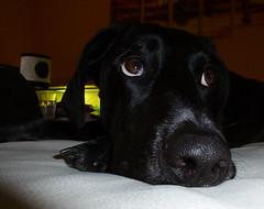 Deutsch Kurzhaar Rde Jacky - ganz lieb (borntobewild1946) Tags: dog cute hund brav lieb deutschkurzhaar copyrightbyberndloosborntobewild1946