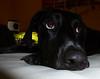 Deutsch Kurzhaar Rüde Jacky - ganz lieb (borntobewild1946) Tags: dog cute hund brav lieb deutschkurzhaar copyrightbyberndloosborntobewild1946