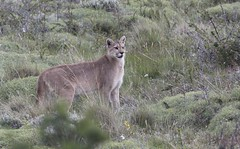 Puma - Torres del Paine (Cascada Expediciones) Tags: chile travel patagonia photography photo wildlife safari experience torresdelpaine puma cascada ecocamp