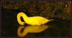 un cigno con riflesso, lontano nel canale, senza flash (aldofurlanetto) Tags: canale sera riflesso cigno