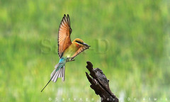 Landing (Sara-D) Tags: nature birds animals forest asia wildlife aves sl lanka srilanka ceylon lk wildanimals southasia sarad serendib asianwildlife saranga birdsofsrilanka birdsofsouthasia dealwis sarangadeva