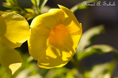 Yellow Flower2 (Ahmad Saheb) Tags: flower nature rose yellow saudi arabia syria jeddah ahmad     saheb