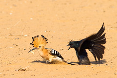 Crested Drongo attacking a Madagascar Hoopoe to steal its lunch :) (Franois Doroth) Tags: wild bird birds animal animals fight wildlife birding reserve aves animaux endemic madagascar ornithology oiseau avian oiseaux drongo ifaty ornithologie toliara upupamarginata madagascarhoopoe tular endemism toliary mangily endmique upupaepopsmarginata cresteddrongo dicrurusforficatus reniala endmisme huppedemadagascar drongomalgache franoisdoroth francoisdorothe