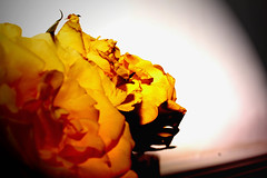 Rose Lights. (PicarusSlim) Tags: photography photo shots yorkshire inspired clear gareth ghz hoyle
