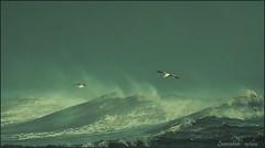Mareggiata 3..... volo radente.. (leon.calmo) Tags: canon toscana gabbiani onde marinadipisa mareggiata boccadarno eos50d bestcapturesaoi leoncalmo