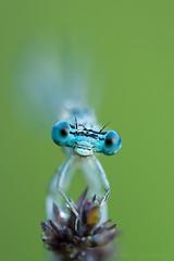 Platycnemis pennipes (Ivan Chiandetti) Tags: whiteleggeddamselfly platycnemispennipes platycnemis pennipes platycnemididae bluefeatherleg zampalargacomune
