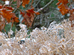 More of the ice storm (lovesdahlias 1) Tags: winter nature ngc newengland rememberthatmomentlevel1 rememberthatmomentlevel2