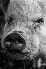 (White Words Photography) Tags: pig snout