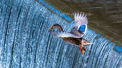 I want to flyyyyy like an Eagle.. (a2roland) Tags: normanzeba2rolandyahoocoma2roland ducks pequest river new jersey nj belvidere warren county fly eagle like waterfalls background landscape arctic wings feathers foam depth perspctive filcker blue dive giant leap mankind nasa moon landing glow diffusion lights lighting speed flying airborne eyes beak face head legs claws reflection shallow bokeh nikon d5500 300mm vr nd graduated filters grad exposure ev value ps raw nef handheld fishing fish hunt hunting