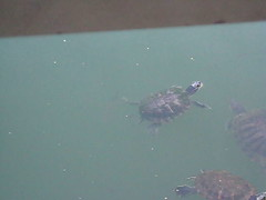 Turtles swimming in Central Park (csny84) Tags: turtles pond turtlepond centralpark