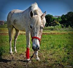 Xana (Franco DAlbao) Tags: francodalbao dalbao nikond60 caballo ygua goa horse mare animal