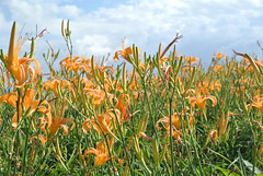 Daylilies in Sixty Rock Mountain-Hualien-Taiwan (Little Henry) Tags: flower taiwan mountain hualien citrondaylily hemerocalliscitrina daylilies